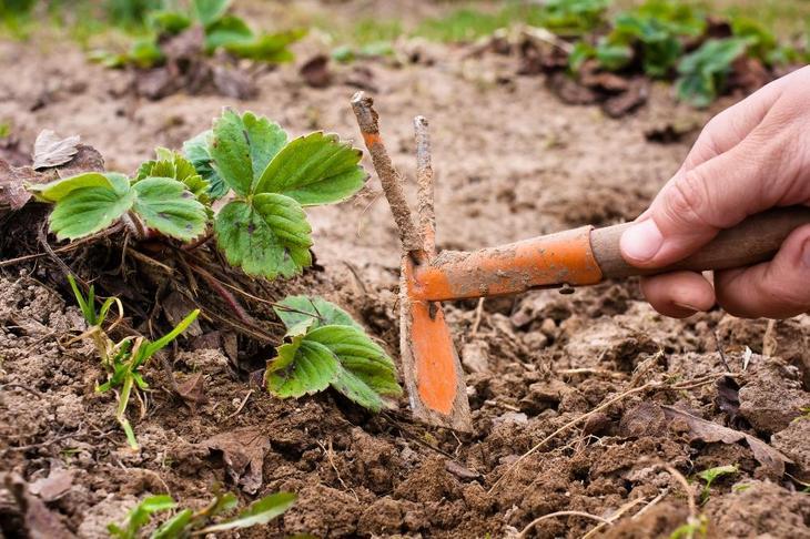 Уход за земляникой после сбора урожая