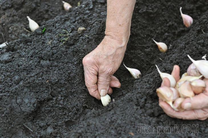 Посадка чеснока весной на головку