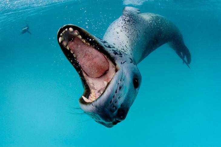 Морской леопард loverme
