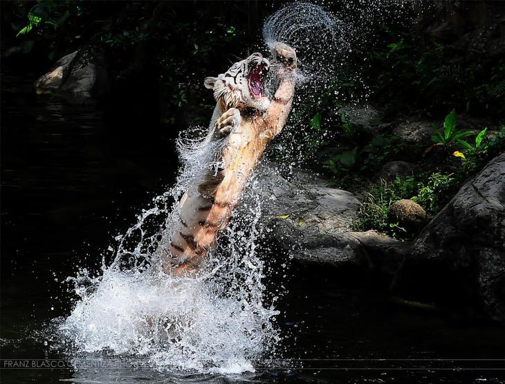 Тигры – дикий животный магнетизм в 30 потрясающих фотографиях 15