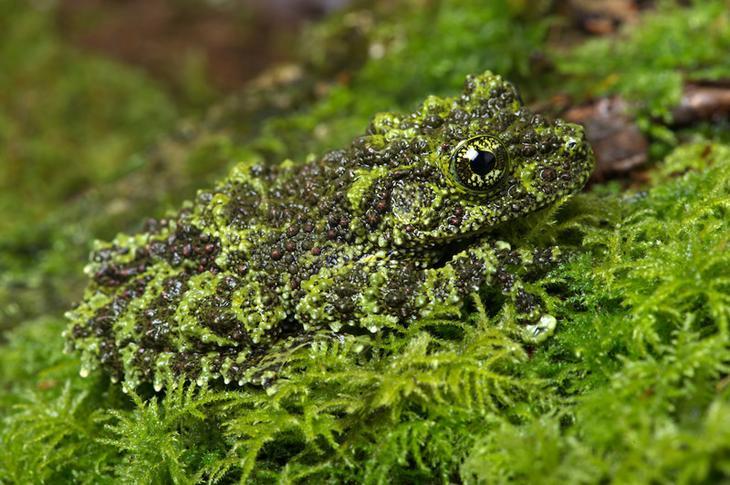 Вьетнамская мшистая лягушка животные, маскировка