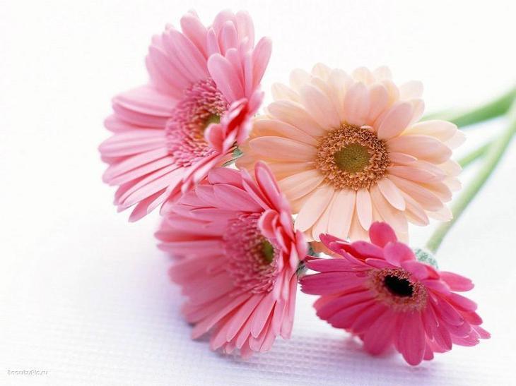 Букетик розовых гербер