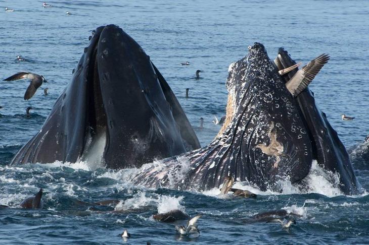 Кит ловит пеликанов. Монтерейский залив Забавные фото, животные, мимишность