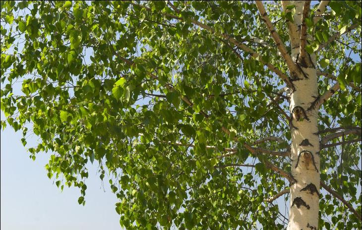 Свойства дерева БЕРЕЗА. Целебная сила дерева. Как деревья нас лечат. Фото с сайта NewPix.ru