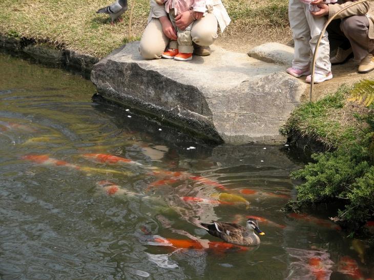 Японский парк Кераку-эн летом. Пруд с рыбками. Фото