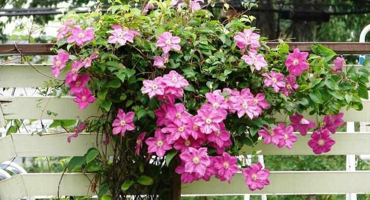 Быстрорастущие вьющиеся растения для забора: живописное украшение участка