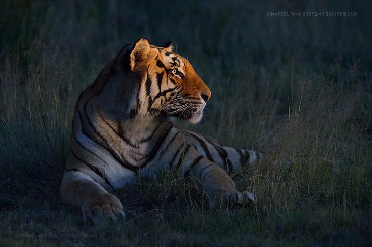 Тигры – дикий животный магнетизм в 30 потрясающих фотографиях 28