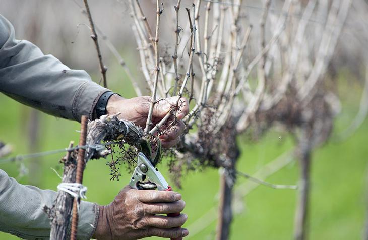 Как обрезать старый заросший куст винограда