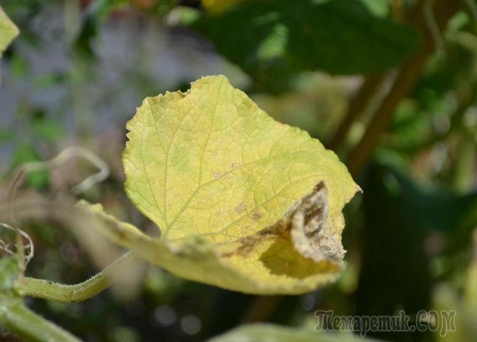 Листья огурцов желтеют по краям: почему и что делать