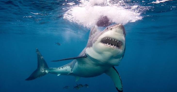 Большие белые акулы животные, интересное, море, опасность, подборка, факты, фауна