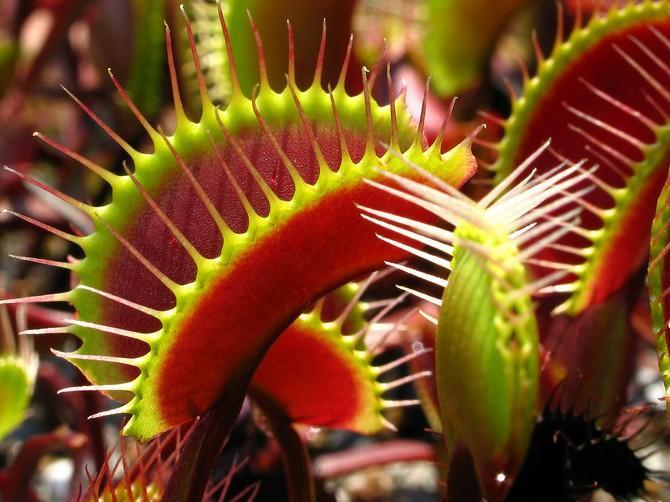 Как вырастить из семян венерину мухоловку Как посадить и вырастить в домашних условиях Как правильно растить цветок Дионея