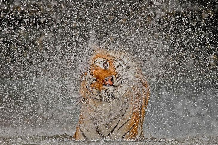 Тигры – дикий животный магнетизм в 30 потрясающих фотографиях 12