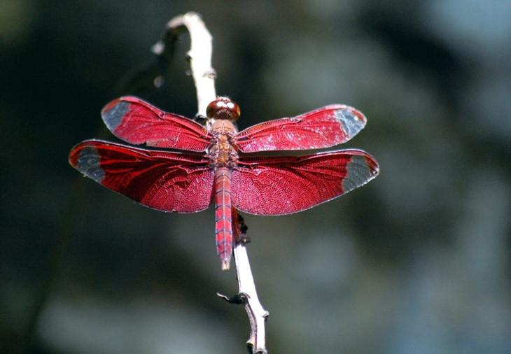 Neurothemis fulvia животные, красные животные, природа, цвет
