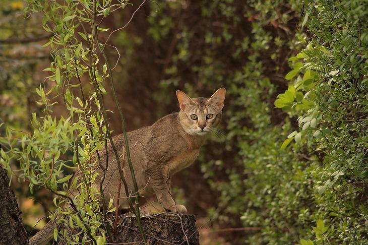 Шаузи — гибрид дикого камышового кота и обычной домашней кошки. (Wilczakrew)