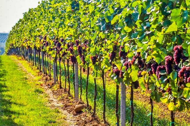Правила посадки винограда расстояние между кустами