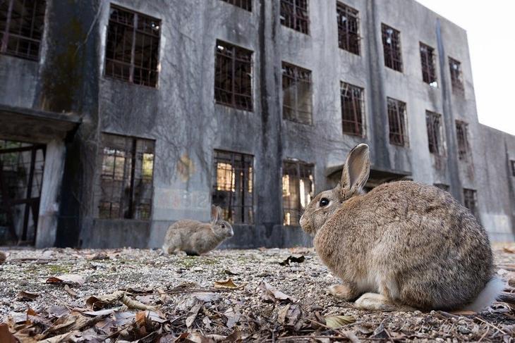 Окуносима - остров кроликов в Японии Окуносима, животные, факты