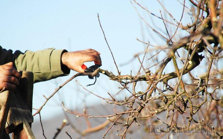 Как подрезать деревья весной
