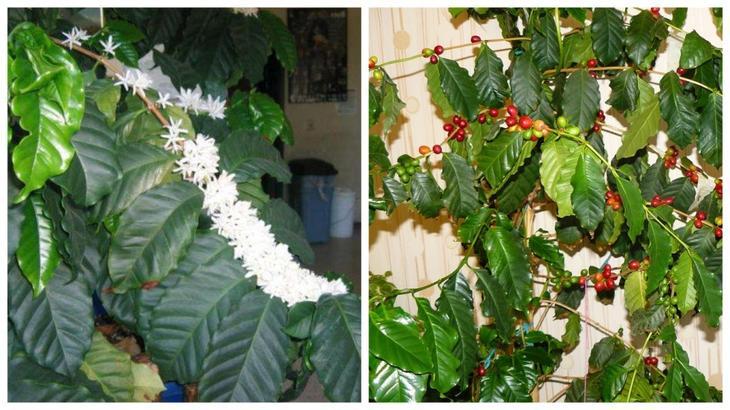 Цветы и плоды кофейного дерева