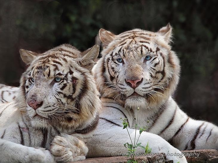 Тигры – дикий животный магнетизм в 30 потрясающих фотографиях 24