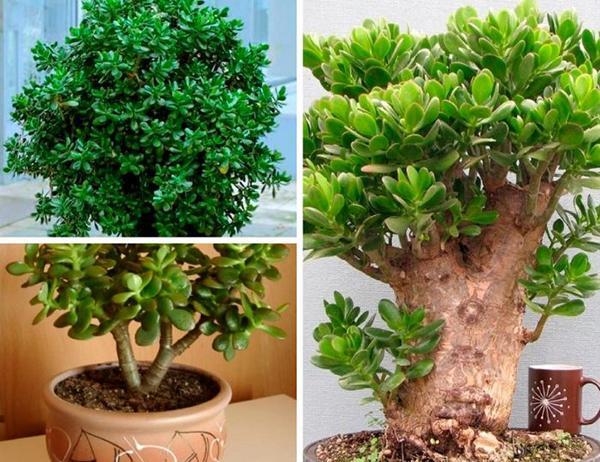 Как красиво обрезать денежное дерево и не навредить растению