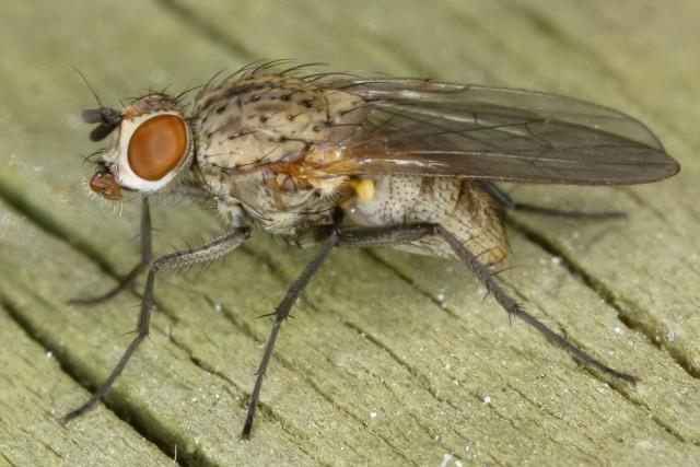 Луковая муха - как с ней бороться народными средствами на грядке?