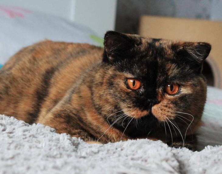 Новая порода котов уже покорила Сеть: это настоящее пушистое чудо
