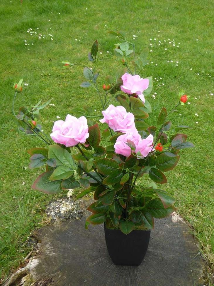 горшечные розы как ухаживать