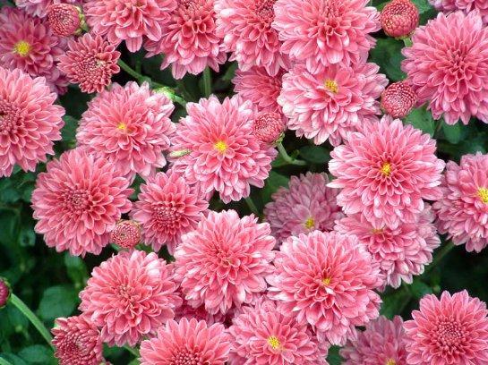 Как ускорить цветение хризантем поздних сортов осенью в домашних условиях