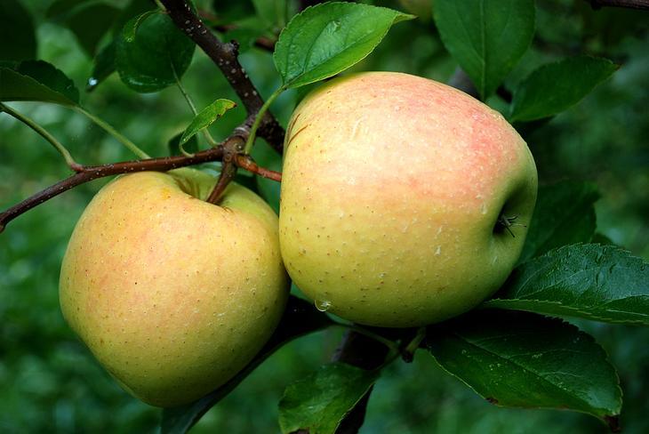 Когда можно прививать плодовые деревья