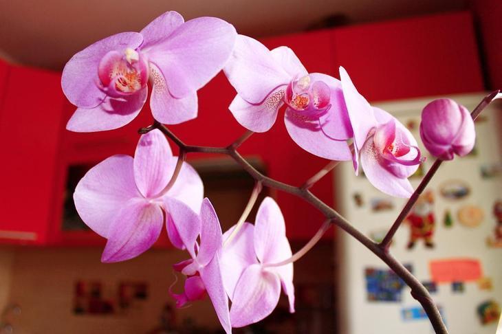 Орхидея, цветок, комнатное растение