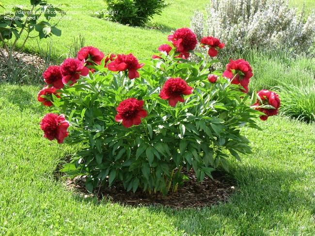 Когда сажать пионы в открытый грунт весной?