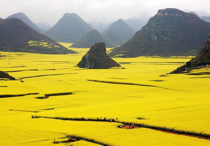 Цветочные поля Канола в Китае