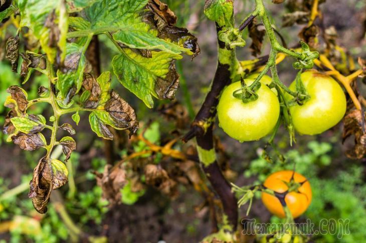 Эффективные народные средства от фитофторы на томатах