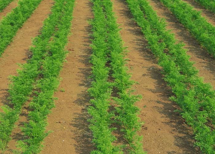 Как вырастить хороший урожай моркови в открытом грунте