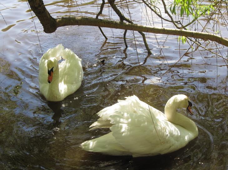 Сонник Лебеди Белые на воде или в небе видеть во сне к чему снятся