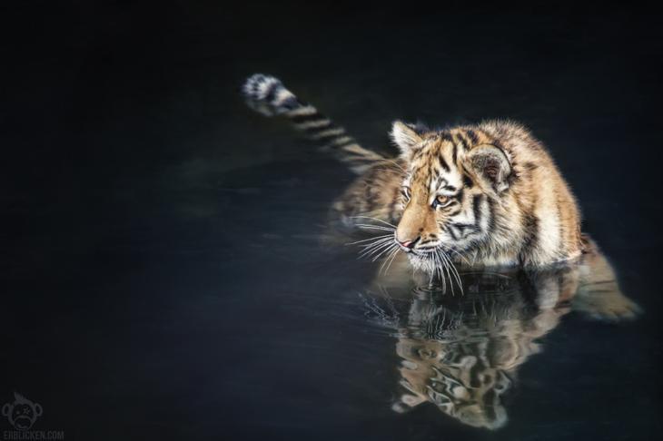 Тигры – дикий животный магнетизм в 30 потрясающих фотографиях 26