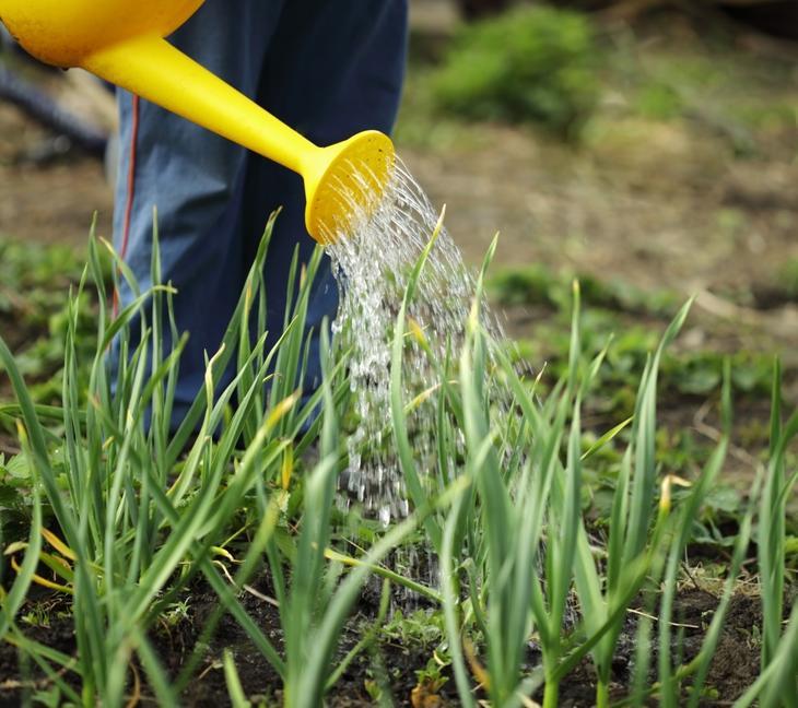 Лук-батун «Апрельский» не выносит сухой и заболоченной почвы