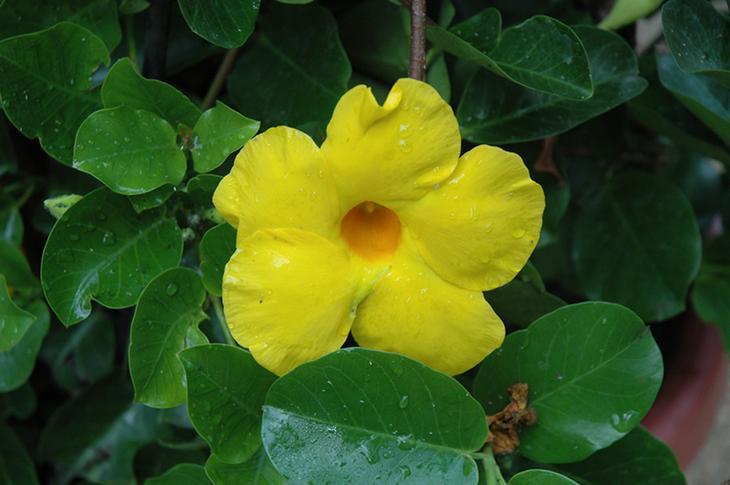 желтая дипладения