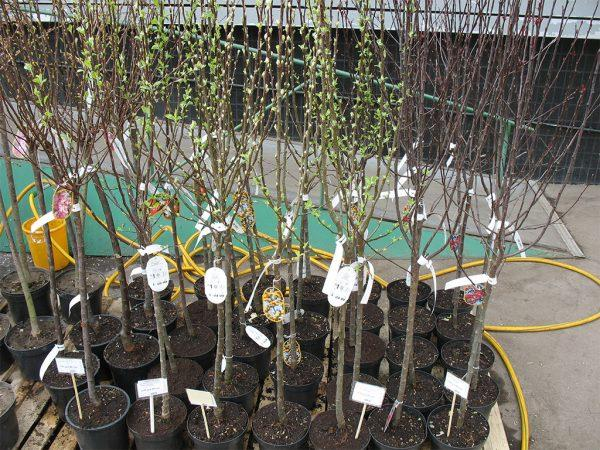 Посадка саженцев плодовых деревьев. Подготовка ямы для саженцев. Какие удобрения вносить при посадке саженцев.
