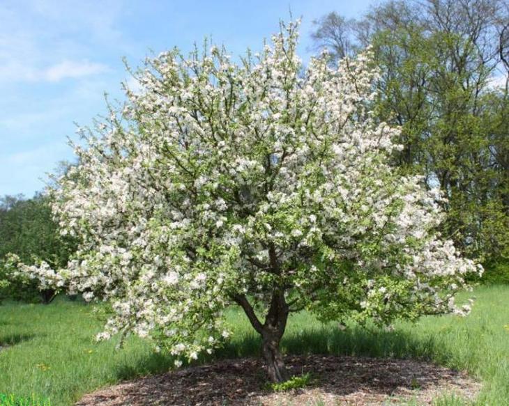 яблоня сливолистная в цвету