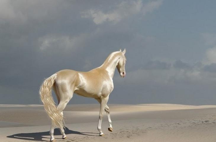 Арабская лошадь домашние питомцы, животные, интересное, кошки, самые дорогие, собаки, фото