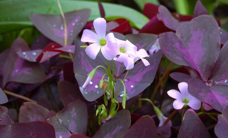Кислица фиолетовая уход в домашних условиях