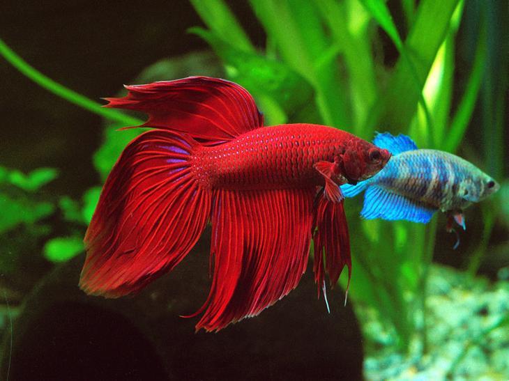 Бойцовая рыбка животные, красные животные, природа, цвет