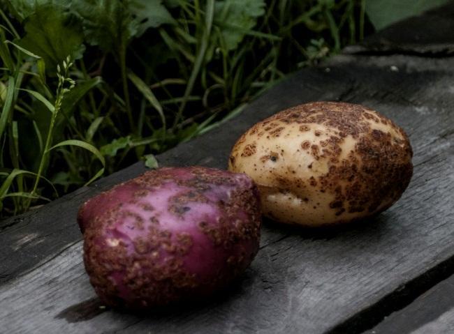 Сорта картофеля устойчивые к парше