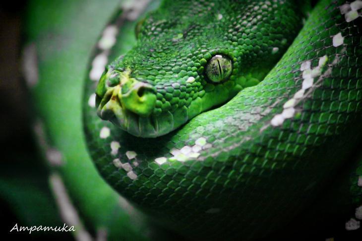 NewPix.ru - Питон - гигант змеиного царства