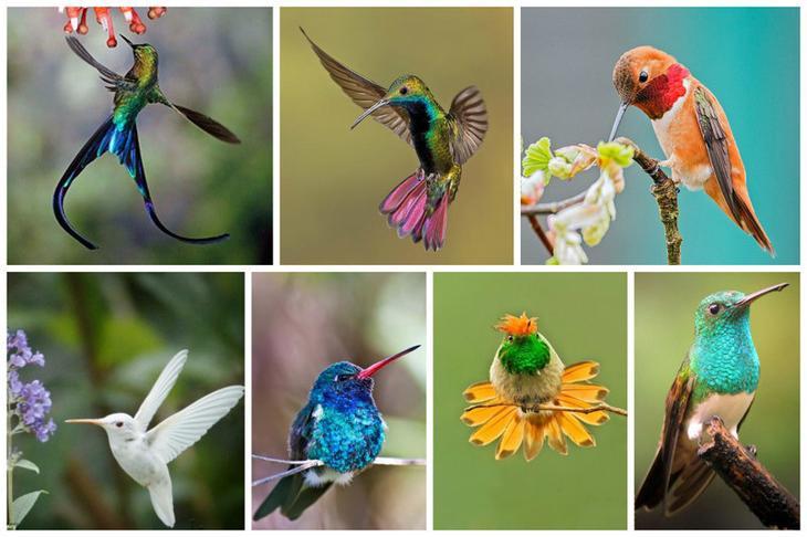 Всего на Земле живет около 300 видов колибри интересное, колибри, природа, птицы, факты, фауна