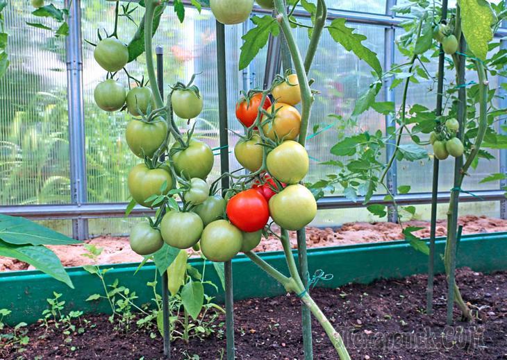 Как удобрять помидоры в теплице