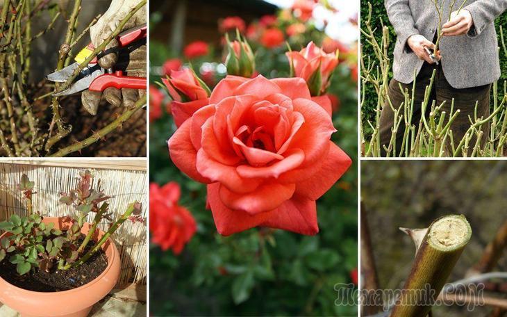 Обрезка кустовых роз весной