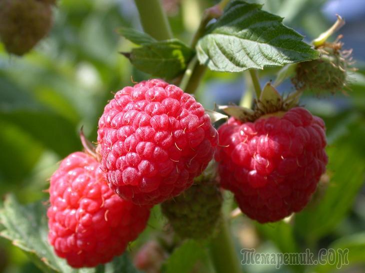 Описание популярных сортов штамбовой малины