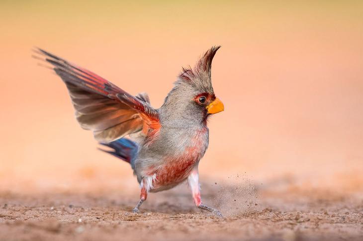 Попугайный кардинал